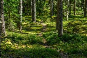 Sendero a través de un bosque de pinos en Suecia foto