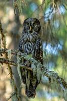 Close up of a large owl sitting in a tree in the forest photo