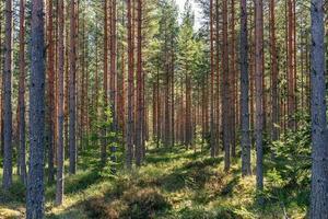 Hermoso bosque de pinos jóvenes en la luz del sol de primavera foto