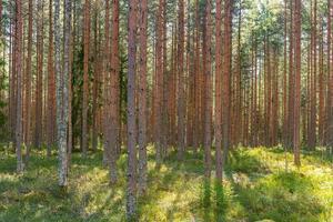 Joven bosque de pinos en Suecia en amarillo sol de primavera foto