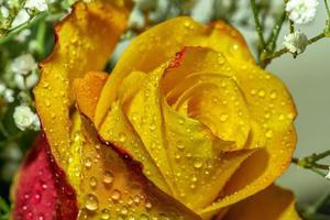 Cerca de una rosa roja y amarilla con gotas de agua foto