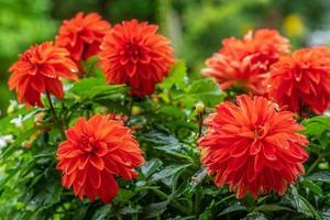 Cerca de un racimo de flores de dalia rojo vibrante foto