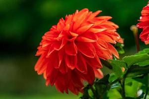 Cerca de una sola flor de dalia roja vibrante en la luz del sol foto