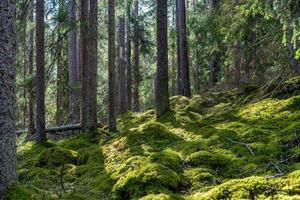 Viejo bosque de abetos en la luz del sol de primavera foto