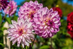 Hermosas flores de dalia rosadas y blancas en la luz del sol foto
