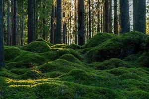 Musgo que cubre el suelo de un bosque de pinos y abetos en Suecia foto