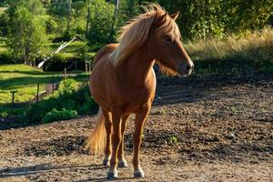 Hermoso caballo islandés color castaño en una pastura de verano foto