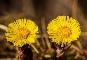 Cerca de dos flores de petasita una al lado de la otra foto