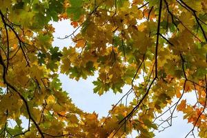Branches with autumn maple leaves photo