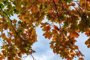 Branches with vibrant autumn colored maple leaves photo