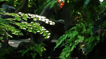 planta de casa verde folhas samambaia delta maidenhair temporada de verão video