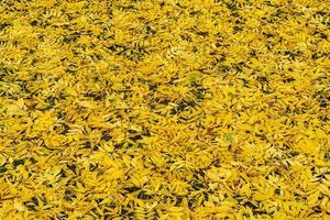 suelo lleno de hojas de fresno amarillo vibrante foto