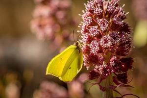 Cerca de una mariposa de azufre sobre una flor rosa foto