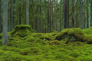 hermoso bosque de abetos con musgo verde foto