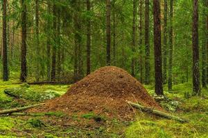 Gran hormiguero en un bosque de pinos y abetos foto