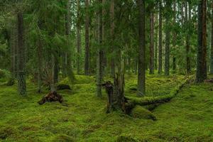 Bosque de pinos y abetos en Suecia con árboles caídos cubiertos de musgo foto