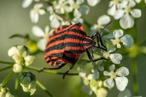 Vibrant orange striped shield bug on a white flower photo