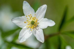 Cerca de una flor de anémona de madera en plena floración foto