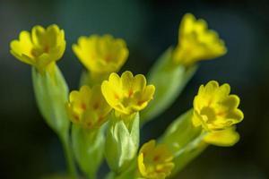 Cerca de un grupo de flores amarillas prímula en la luz del sol foto