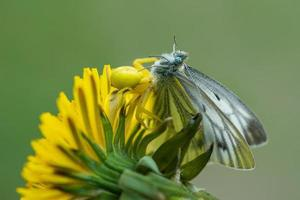 Yellow crab spider feeding on a white butterfly photo