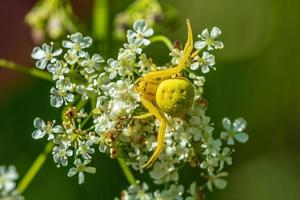 Close up of a yellow crab spider on a white flower photo