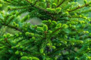 Close view of fir tree branches and needles photo