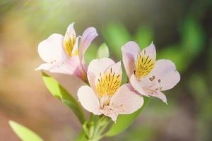 pink alstrameria flowers on a blurry background. photo