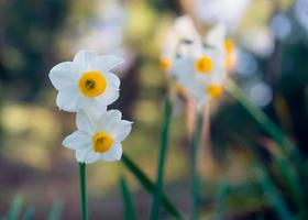 White Narcissus flowers on a blurred green background photo
