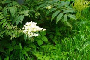 flores de saúco sobre un fondo de hierba verde. foto
