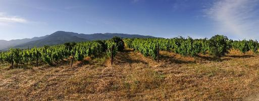 panorama de viñedos en el fondo de las montañas. foto