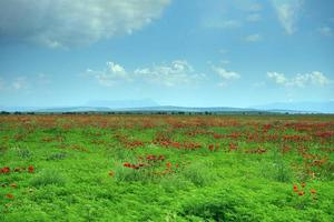 Natural landscape with poppy field. photo