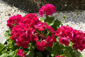 flowers bright pink geranium with green leaves. photo