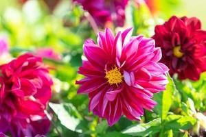 Fondo floral con dalias rosas sobre fondo verde foto