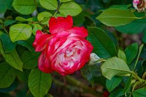 beautiful rose on a green background of leaves and grass photo