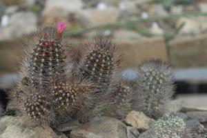 Mamillaria cactus con flores de color rosa sobre un fondo de piedras foto