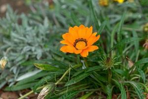 orange flower of calendula on a background of green leaves photo