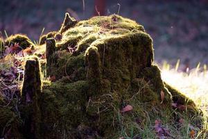 Fondo natural con un viejo tocón en el musgo. foto