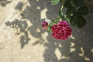 Rose against a concrete wall photo