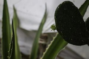 Primer plano de cactus contra un paño blanco foto