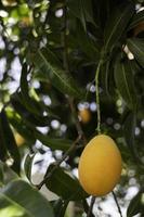 Sweet yellow plum photo