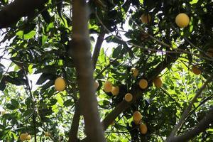 Yellow plum tree photo