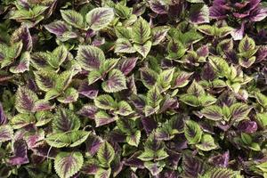 Purple and green leaves photo