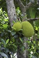 Green fruit on a tree photo