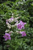 Purple flowers in a garden photo