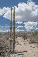Cactus in the desert of Baja California sur Mexico photo