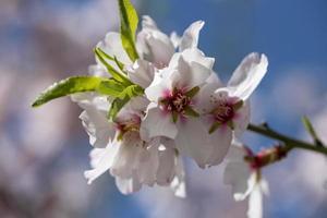 Almendros en flor contra el cielo azul foto
