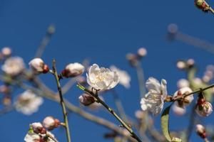 Flowering almond trees against blue sky photo