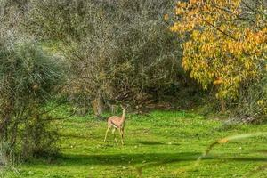 The gerenuk between the plants in the savannah photo