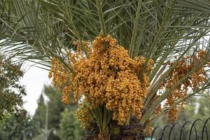 Ripen yellow and brown rutab dates, yellow dates on a palm tree photo