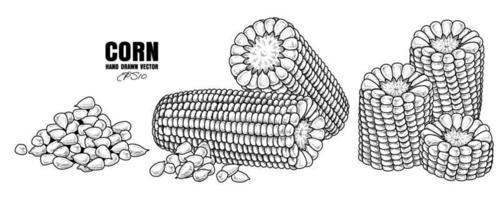 Set of ripe corn hand drawn illustration vector